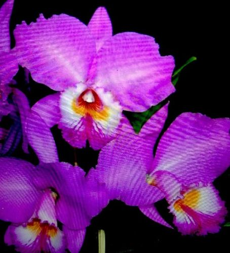 Orchid plant Cattleya labiata var. tipo / BARE ROOT