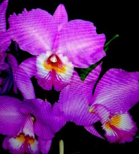Orchid plant Cattleya labiata var. tipo / BARE ROOT