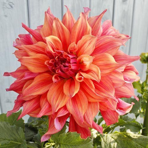 2 DINNER PLATE DAHLIA Belle of Barmera