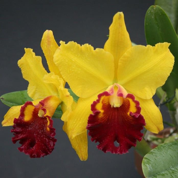 Blc. Lawless Romeo ' Juliet' cattleya orchid plant 3' pot