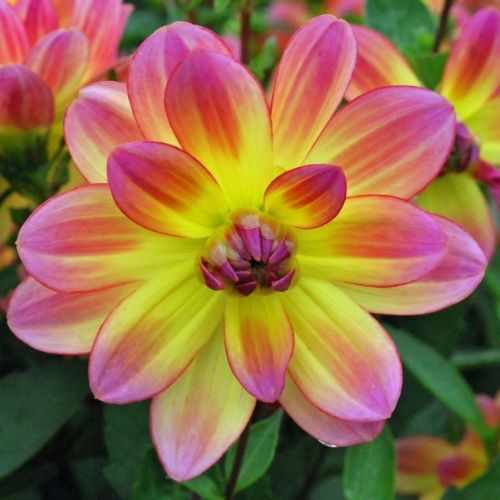 Dahlia Pacific Ocean????Yellow With Pink Petals???? Ethereal Beauty ????2 Tubers
