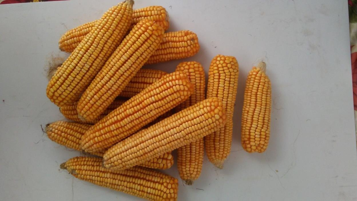Ear Corn, Squirrel Corn, Deer Corn (15 lbs. approx 26-28 ears)