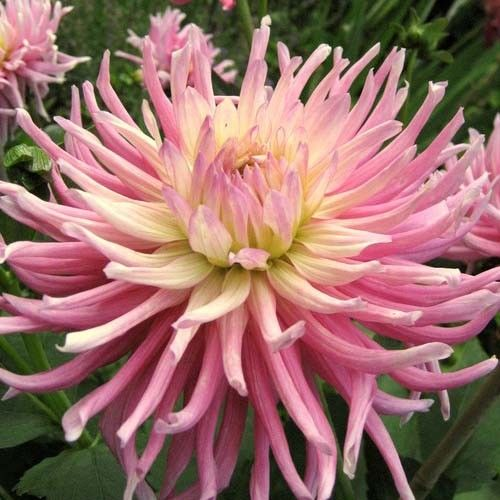 2 DINNER PLATE DAHLIA Star's Favorite