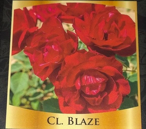Climbing Blaze Rose Bush  Red Special Pre Sale Spring Reserve Yours now!