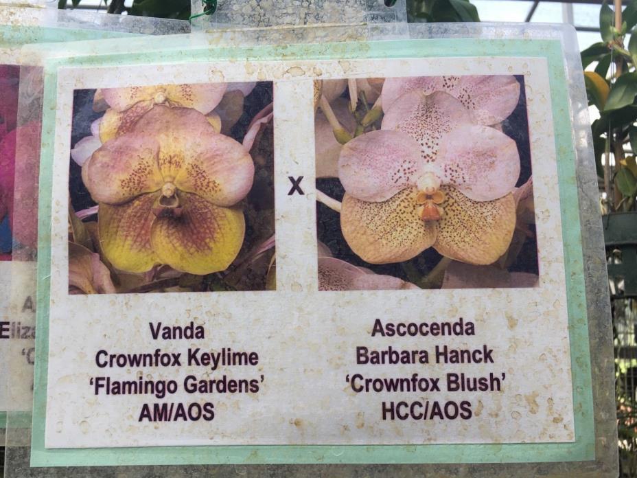 Vanda Orchid Seedling **Awarded Parents!** 'Crownfox' cross AM HCC/AOS
