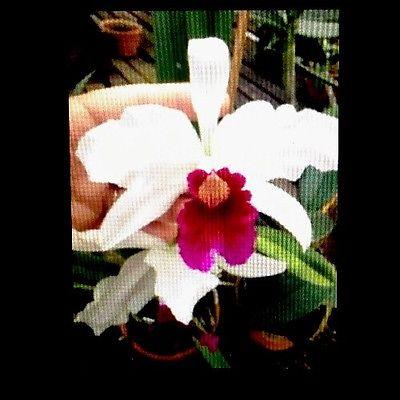 Orchid Plant Laelia purpurata var. semi alba X Roxo bispo - BARE ROOT