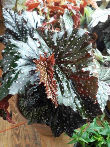 Begonia 'Little Miss Mummey'
