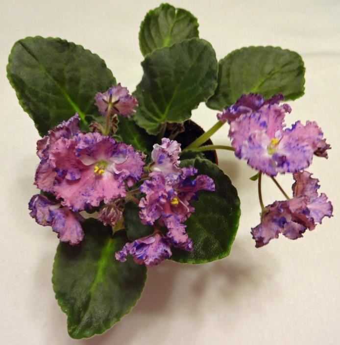 African violet Amour Elite live standard  plant in pot Russian