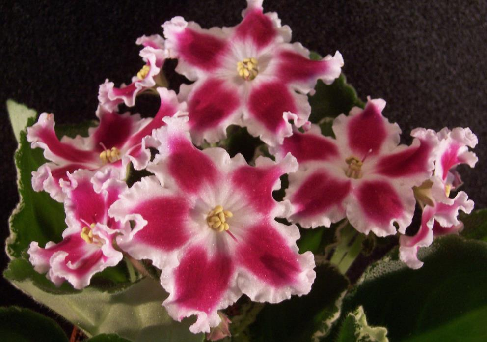 African violet LE-Carousel / LE Karrusel  live plant in pot Russian