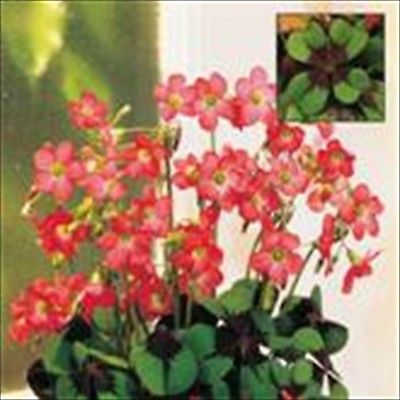 60 flower bulbs- Iron Cross -