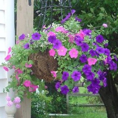 50 Seeds * Petunia Mix * Pink and Blue * Romantic colors * Sprawling!