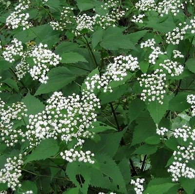 50 Seeds *Eupatorium Rugosum *Chocolate Snakeroot* Darker Foliage