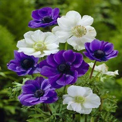 Anemone 100 bulbs  purple and white