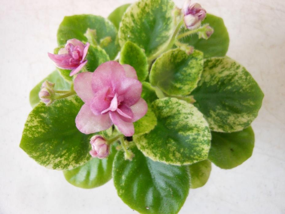 2 fresh cut leaves of african violet Jolly Pepper