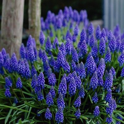 30 Seeds *Muscari armeniacum *Perennial Grape Hyacinth *Beautiful Flower Spikes