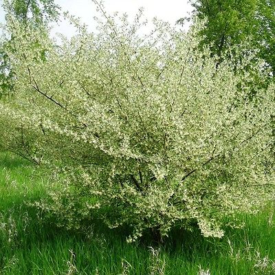 20 Seeds *Elaeagnus Umbellata *Flowering Olive* Gray Foliage *18 Feet Tall