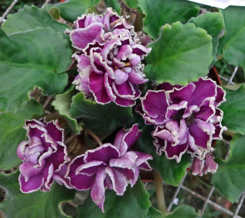 African violet LE-Chateau Brion /LE-Shato Brion live standard  plant in pot