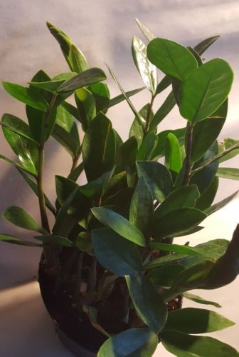 ZZ indoor Plant - Easy to Grow Live Houseplant growing in a 4