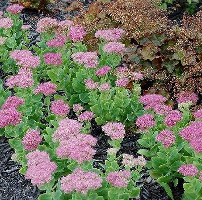 50 Seeds *Sedum Spectabile 'Brilliant'* Stonecrop *Succulent Perennial *Brt Pink