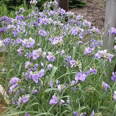 20 Seeds * Tradescantia Mix *Spiderwort* Blue to Purple Tall Triangular Flowers