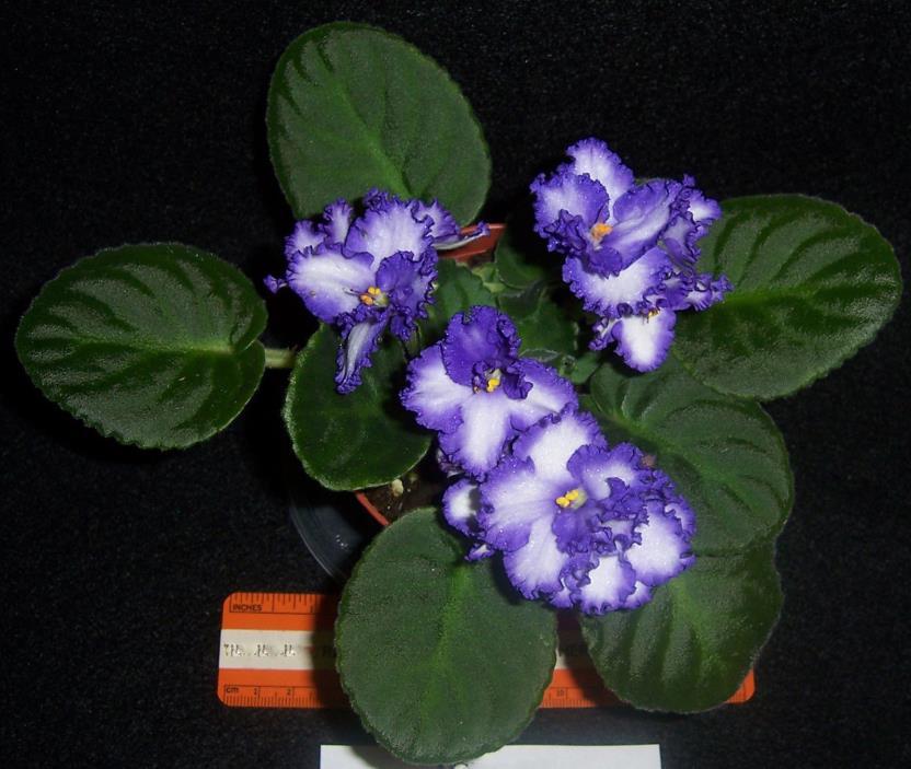 African violet Iceberg  live plant in pot