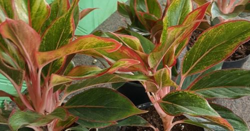 Live Tropical House Plant Siam Aglaonema *Stunning in Pink and Green*