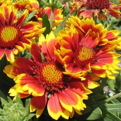 50+ Seeds *Gaillardia aristata *'Arizona Sun' Blanket Flower* Masses of blooms