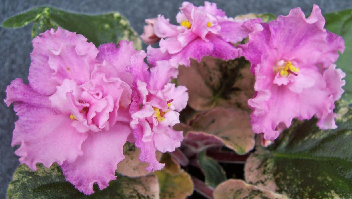 African violet Harmony's Hot Flash live plant in pot