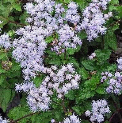 40+ Seeds *Conoclinium coelestinum *Blue Mist Flower.*Charming and showy blue