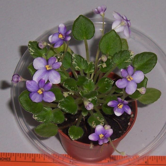 African violet Pixie Runaround live miniature trailer plant in pot