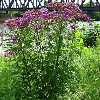 50 Seeds *Vernonia angustifolia *Ironweed *Elegant Purple flowers on tall stems