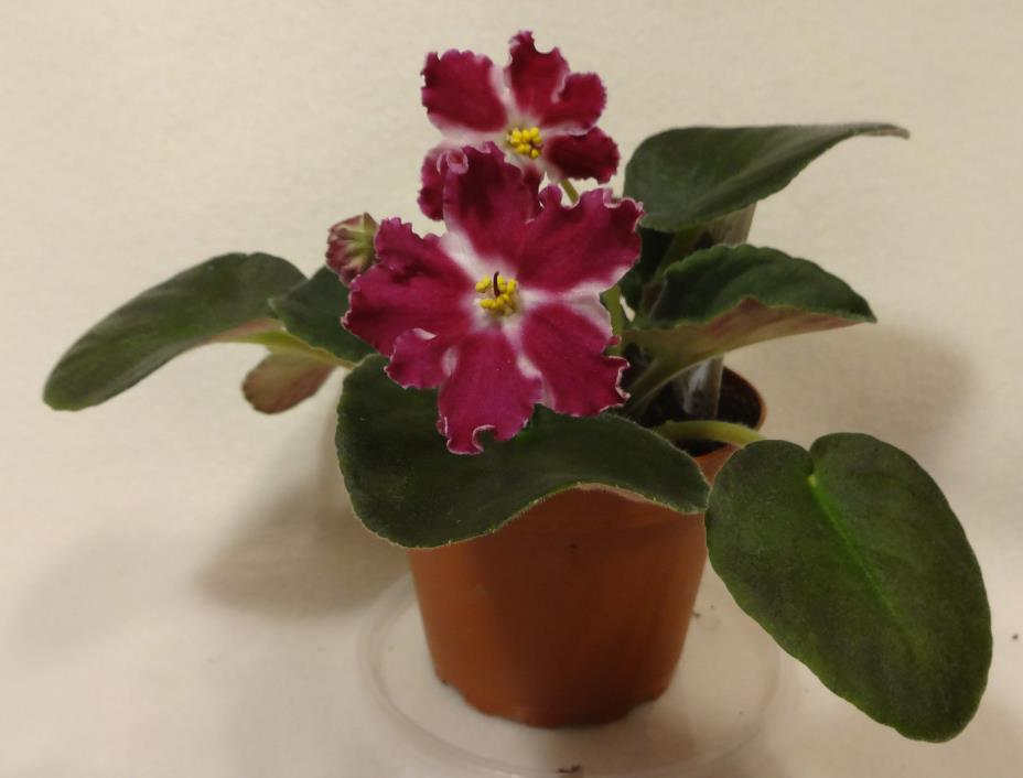 African violet RS Barbie Doll live standard  plant in pot  Russian