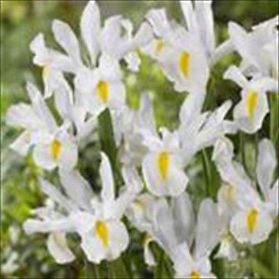 30 Dutch Iris BULBS    Mt. Everest       Garden perennials