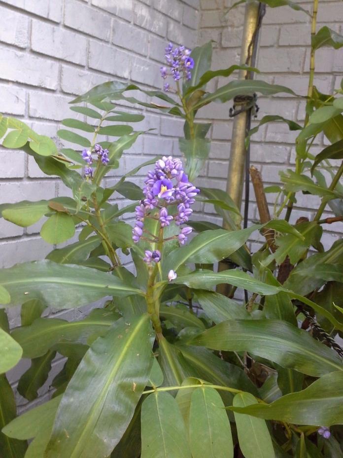 Blue Ginger Plants