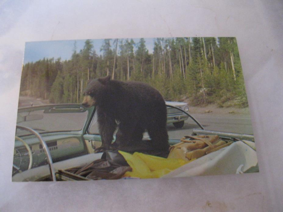 Yellow Stone park with bear on top of a convertable Postcard Mid 20th Century