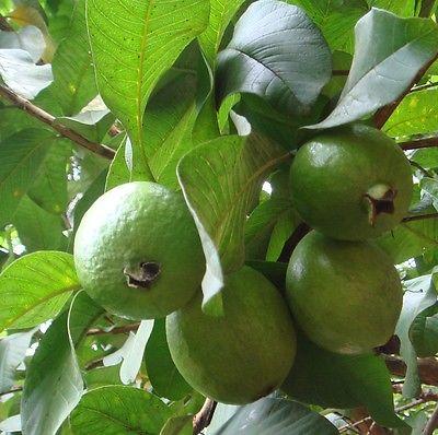 Psidium guajava * Pink Flesh Guava * 30+ seeds * Fruit * Fragrant flowers