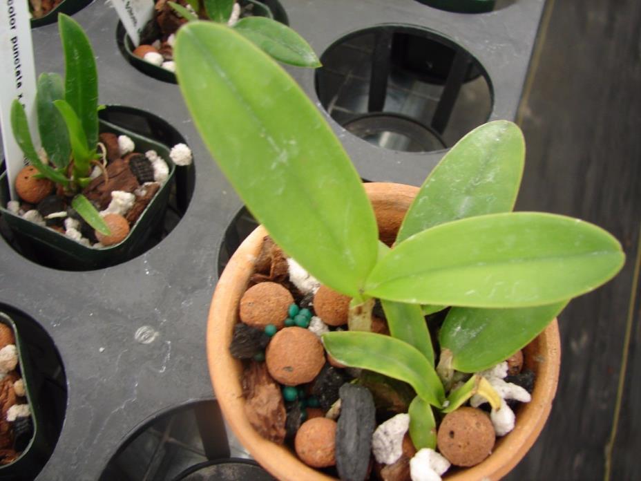 WOW Cattleya intermedia var. coerulea 2