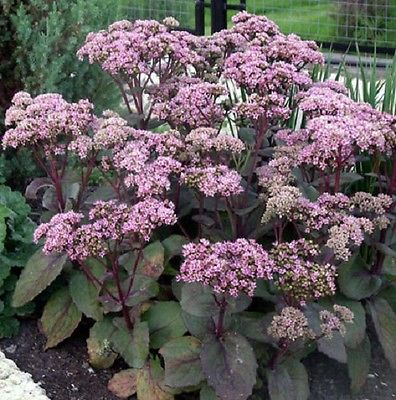 50 Seeds *Sedum telephium 'Matrona'* Stonecrop * Purple leaf Succulent