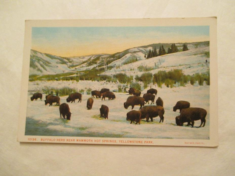 Buffalo herd near Mammoth Hot Springs Yellowstone National Park Postcard