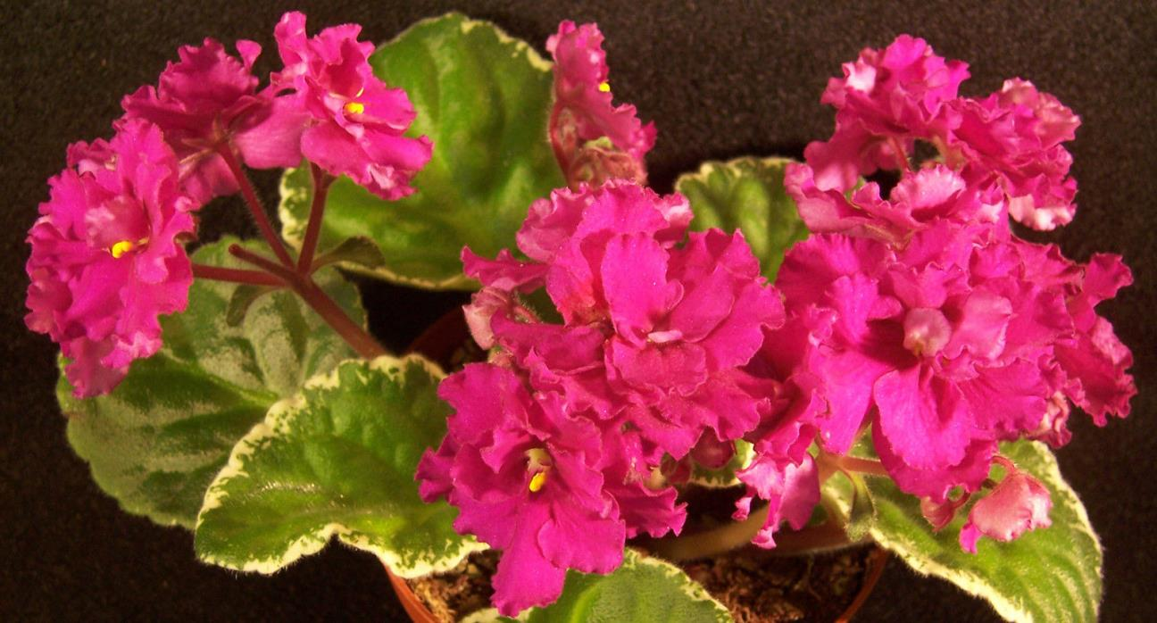 African violet Ma's Soiree live plant in pot