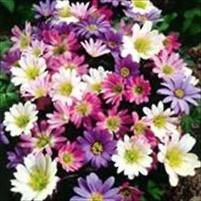 Anemone assorted colors Daisys   60 Flower Bulbs