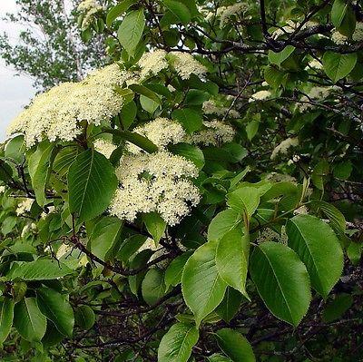 15 Seeds *Viburnium Lentago *Nannyberry Tree* White Flower Clusters *Juicy Berry