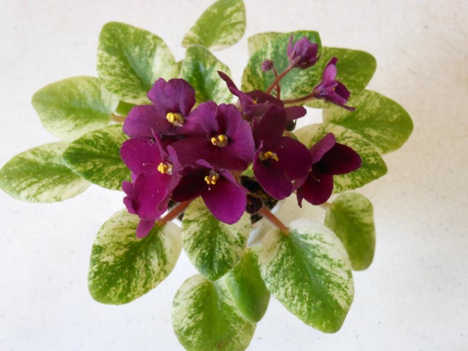 2 fresh cut leaves of african violet Jolly Jubilee