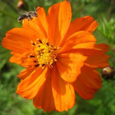 25 Seeds * Cosmos Sulphureus * Bright Lights *Orange  *Garden Beauty!