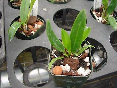 Cattleya bicolor 'Punctata' X Schomburgkia. schultzei 2