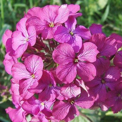 30 Seeds *Lunaria Annua *Money Plant *2-3½' Tall Purple Flowers