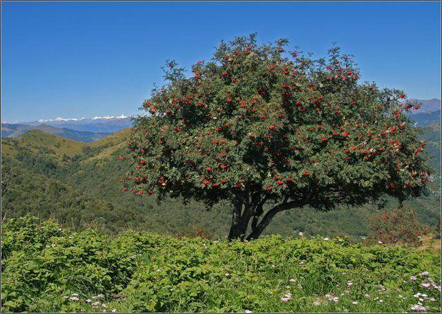 Rowan, European Mountain Ash, Sorbus aucuparia, Tree Seeds