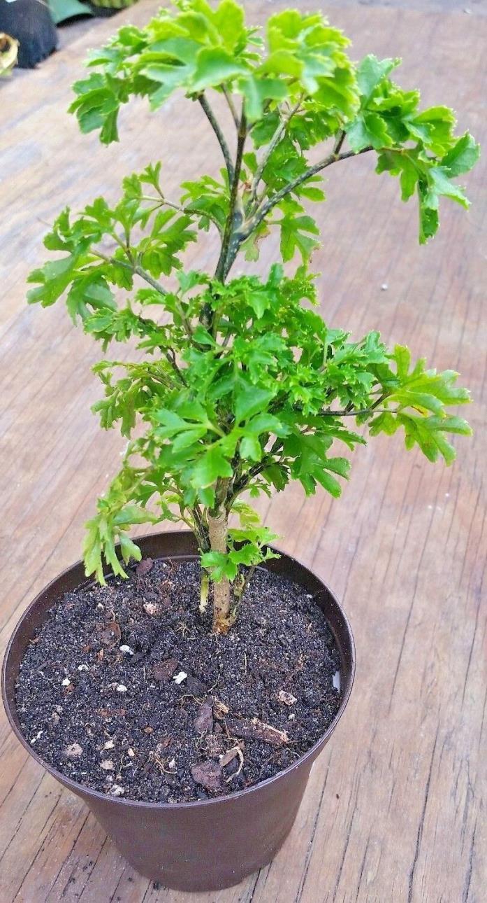 Parsley Aralia Bonsai Dwarf  Tree  Pre-Bonsai