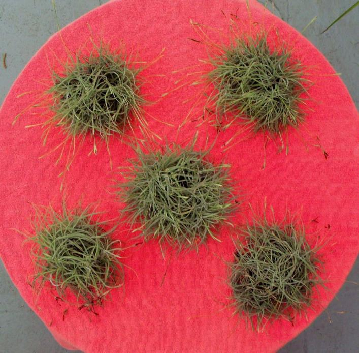 TILLANDSIA RECURVATA - BALL MOSS - 6 LARGE CLUSTERS, 100's of plants in each