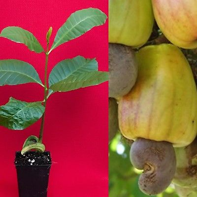 Anacardium Occidentale Cashew Giant Nut Gajus Cajou Fruit Tree Starter Plant
